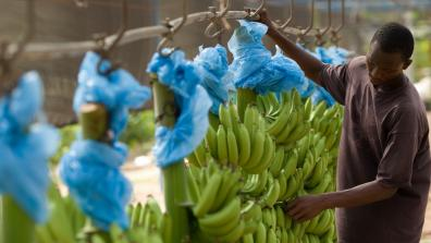 Man removing dried flowers from bunches of bananas on plantation in Ghana West Africa. Credit:Olivier Asselin / Alamy Stock Photo